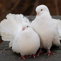 К чему приснились голуби?