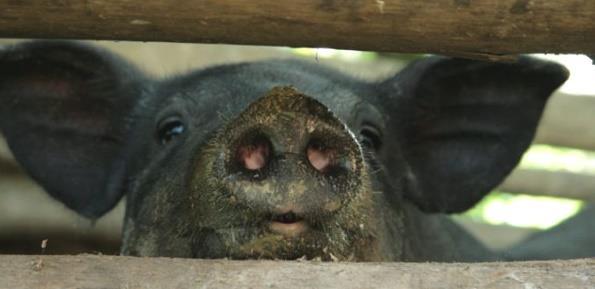 К чему снится маленькая черная свинья фото