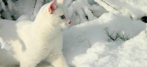 сонник белый цвет