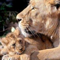 К чему снится львенок, львица или лев?