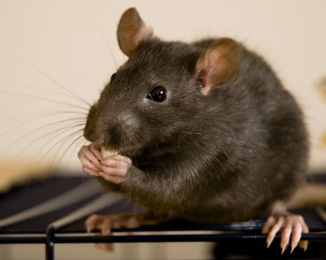 Крыса - знак, о ссорах с соседями