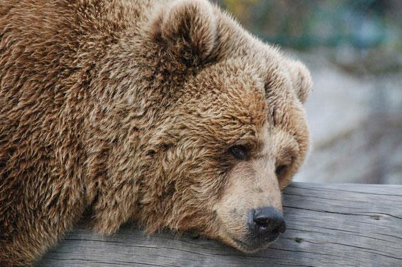 К чему снится медведь руку кусает фото