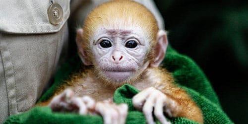 к чему снится обезьяна на руках