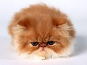 К чему снится рыжий толстый кот